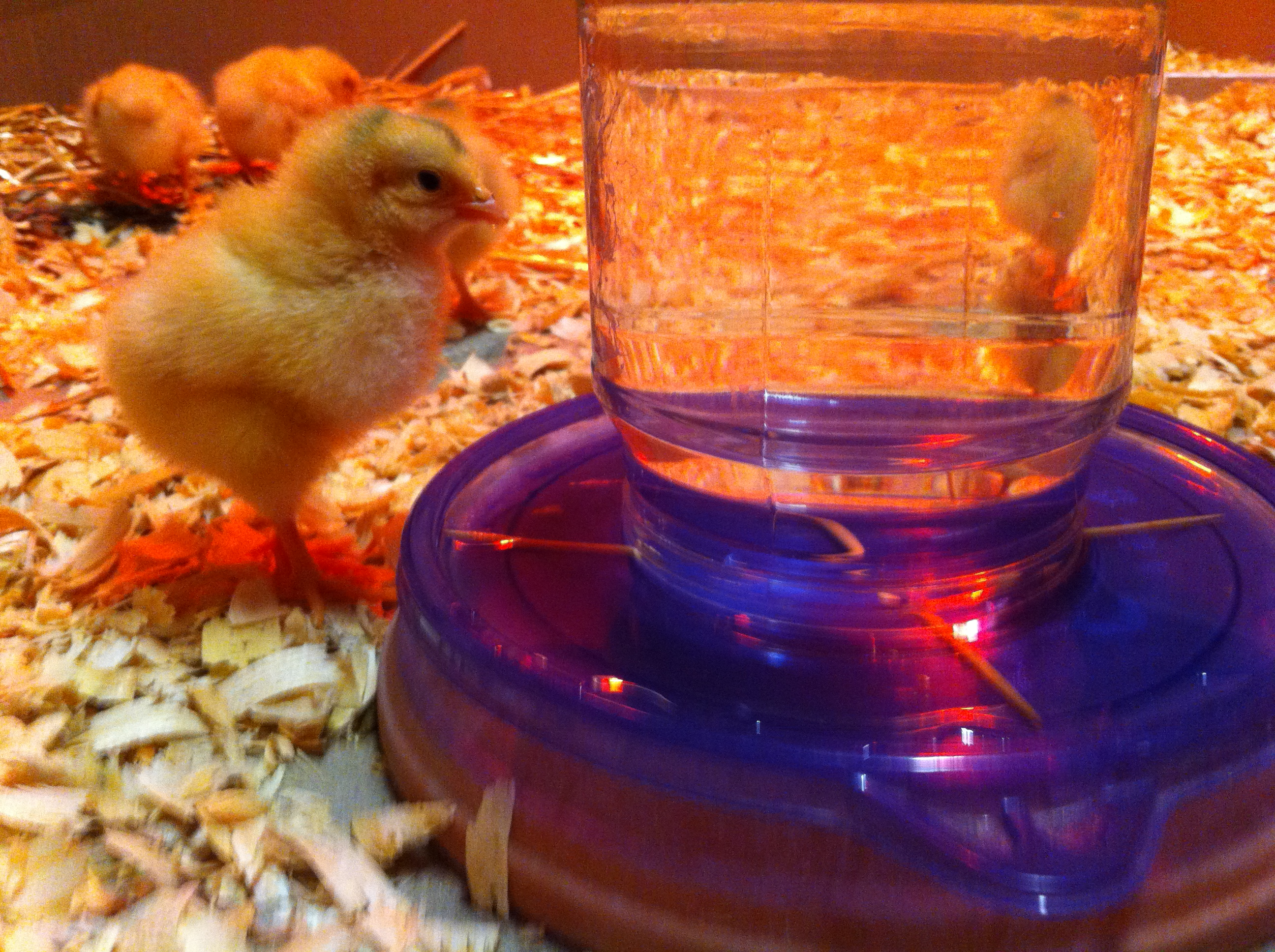chick_waterer